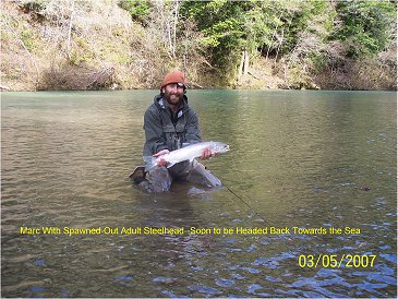 Marc with spawned out adult steelhead, soon to be headed back out to sea.