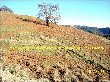Typical springtime damage from wild pigs rooting entire hillsides.